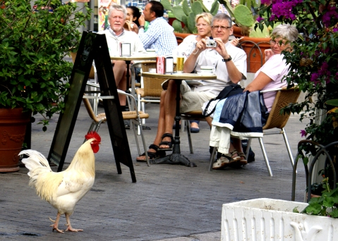 foto del gallo de Sata Catalina, Las Palmas de Gran Canaria Foto: José Luis Sandoval