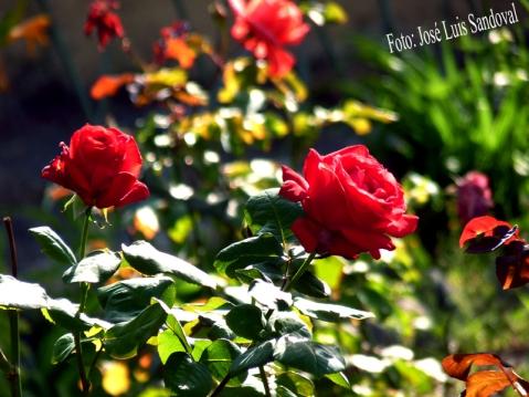 Te llegará una rosa cada día (Foto: José Luis Sandoval